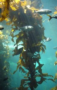 Kelp-forest-Monterey