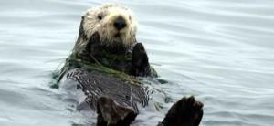 Southern_sea_otter