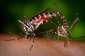 CDC_Aedes_albopictus_4409_lores