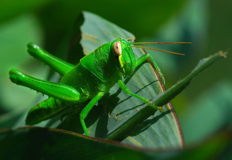 Gourmet Grasshoppers and Designer Breeders