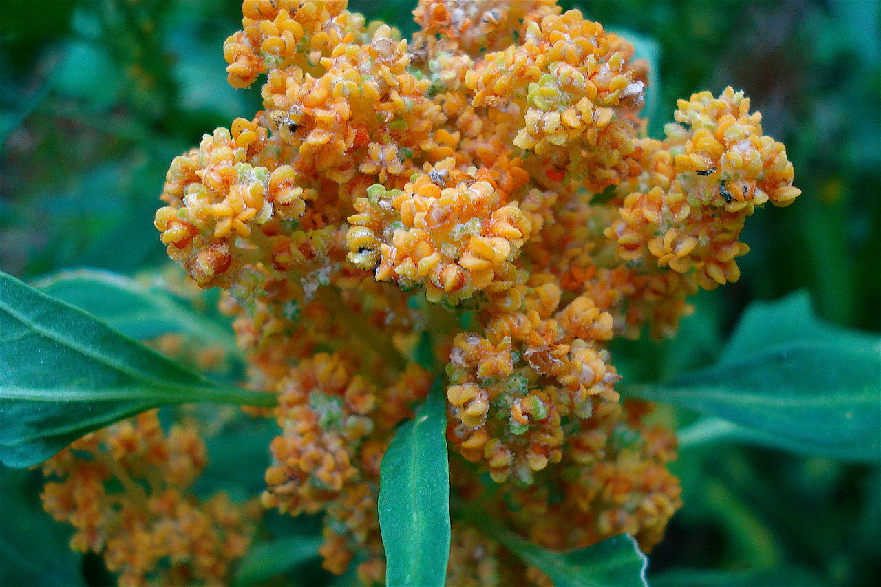Flowering Quinoa Credit: Christian Guthier, licensed under the Creative Commons Attribution 2.0 Generic license