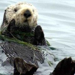 A Toxoplasma's Journey: From Cats to Sea Otters