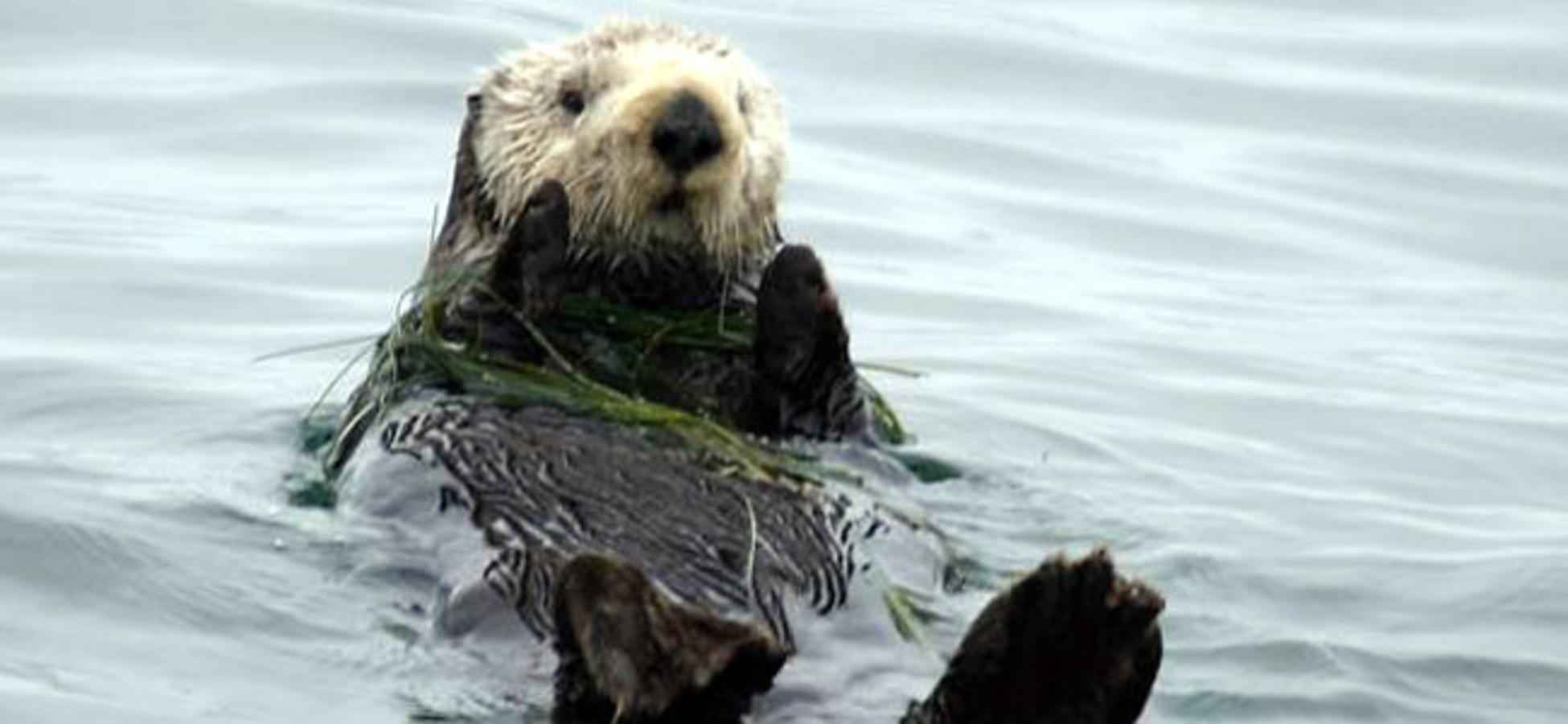 Image of: Southernseaotter The Global Fool Toxoplasmas Journey From Cats To Sea Otters The Global Fool