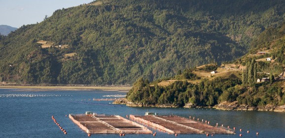 Salmon Farming: The Chilean Massive Die-Off